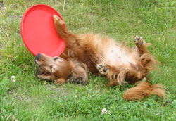 HUSSE DOG PLAY FRISBEE